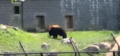 Bears at ZooAmerica.png