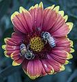 Bee flower031713-2a (8586466597).jpg