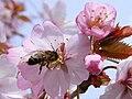 Bee on cherry 01A.jpg