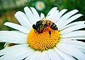 Bee on flower pollinating.jpg