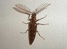 Beetle with antler like antennae (pyrochroidae?).jpg