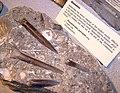 Belemnite at bristol museum arp.jpg