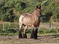 Belgisch trekpaard1.JPG