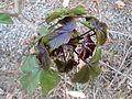Bellyache Bush (Cottonleaf Physic Nut) Jatropha gossipifolia plant at Kambalakonda 002.JPG