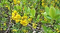 Berberis vulgaris. Espinela (flores).jpg
