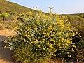 Berkheya fruticosa 23280728.jpg