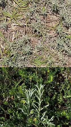 Berroa gnaphalioides.jpg