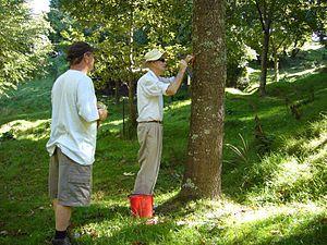 Bob Berry (dendrologist) - Bob Berry attaching a label at a tree at Hackfalls Arboretum (2007)