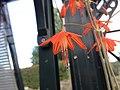 Bessera elegans flower.jpg