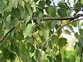 Betula pendula - Bela breza (5).jpg