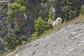 Bighorn sheep (Ovis canadensis) - Icefields Parkway 04.jpg