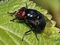 Biopyrellia bipuncta.jpg
