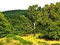 Birch - panoramio (8).jpg