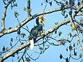 Bird Wreathed Hornbill Rhyticeros undulatus DSCN9018 13.jpg