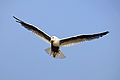 Bird in flight wings spread.jpg