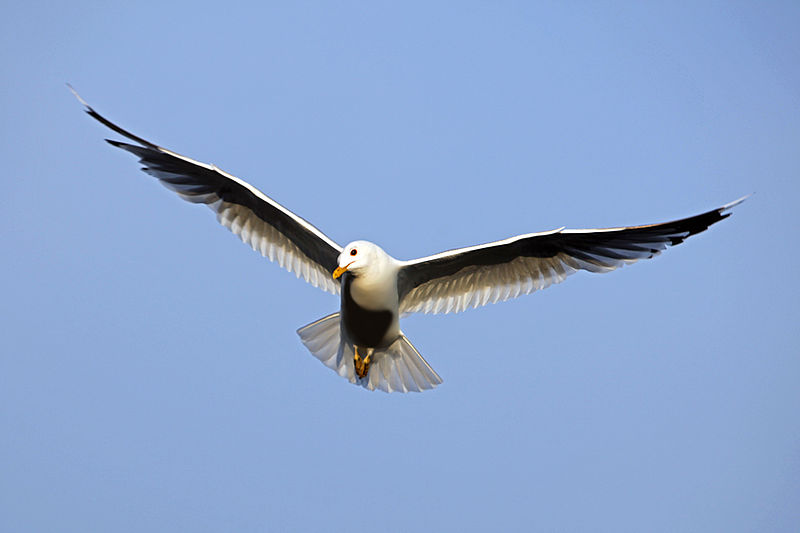 File:Bird in flight wings spread.jpg