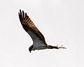Bird of Prey (6241510601).jpg