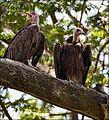 Birds MG 7235 copyMOD (6500647877).jpg