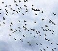 Birds in flight in Mexico.jpg