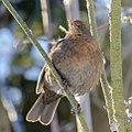 Birds in the garden (15516537294).jpg