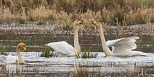 Whooper swan - Singing whooper swan, Sweden 2016