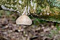 Birkenporling - birch polypore - birch bracket - razor strop - Piptoporus betulinus - 05.jpg