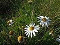 Blütenstand Kamille (Matricaria recutita) zwischen Kleinheringen und Rödigen2.jpg