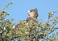 Black-breasted Snake Eagle 2.jpg