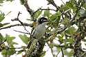 Black-capped Vireo-Kerr WMA-TX - 2015-05-24at12-53-0916 (21583013756).jpg