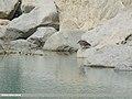 Black-crowned Night Heron (Nycticorax nycticorax) (44745422000).jpg