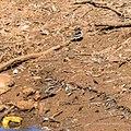 Black-fronted dotterel Burke River Boulia Queensland P1030928.jpg