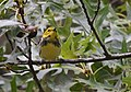 Black-throated Green Warbler (31333066348).jpg