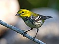 Black-throated Green Warbler by Dan Pancamo 2.jpg