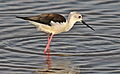Black-winged Stilt, Common Stilt, or Pied Stilt, Himantopus himantopus at Marievale Nature Reserve, Gauteng, South Africa (23416177571).jpg