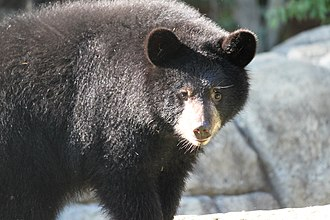 Henson Robinson Zoo - Black Bear at Henson Robinson Zoo