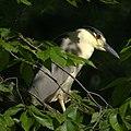 Black Crowned Night Heron 2.jpg