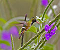 Black crested Coquette.jpg