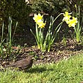 Blackbird (Turdus merula), Inverness - geograph.org.uk - 1247058.jpg