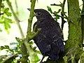 Blackbird Juvenile (7228250492).jpg