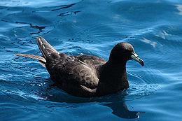 Blackpetrel