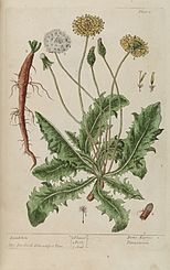 Dens leonis (Löwenzahn), A Curious Herbal (1737)