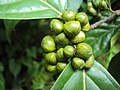 Blepharistemma serratum fruits at Periya 2014 (3).jpg