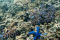 Blue seastar Linckia laevigata with humbug dascyllus Dascyllus aruanus (5800421806).jpg