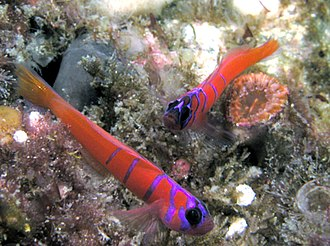San Clemente Island - Image: Bluebanded Gobies