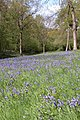 Bluebells in Yatton Wood - geograph.org.uk - 166622.jpg