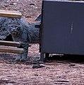 Bobcat in Yosemite (3022282199).jpg