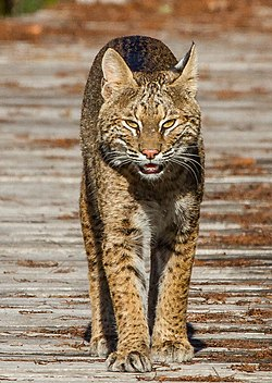 Bobcat on the Boardwalk (8292424992).jpg