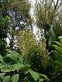 Bocconia frutescens L. (AM AK353931-3).jpg