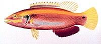 Bodianus sanguineus