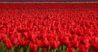 Bollenteelt In Nederland Wikipedia